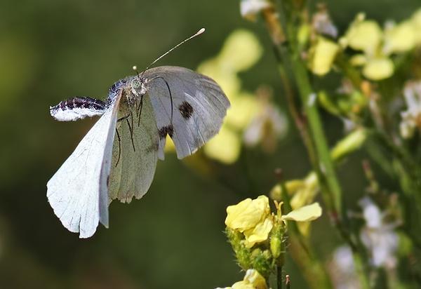 Large White in-flight by jm1