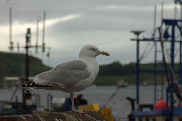 A gallery of Gulls by HuddersfieldHil