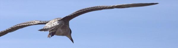 Gulls in flight by HuddersfieldHil