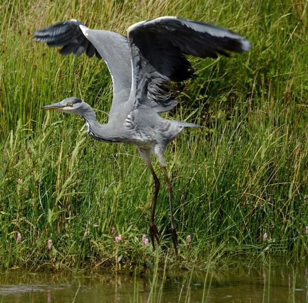 Heron Landing by anglingandyq