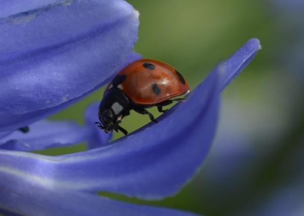 Ladybird by Danny1970
