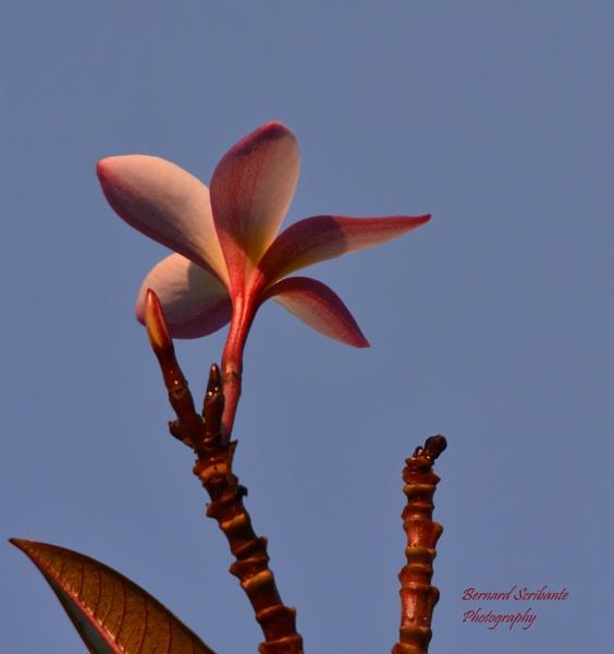 First frangipani flower of the season by espresso
