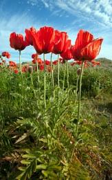 Bamburgh Poppy