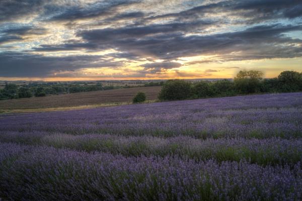 Lavender Sunset by mark2uk