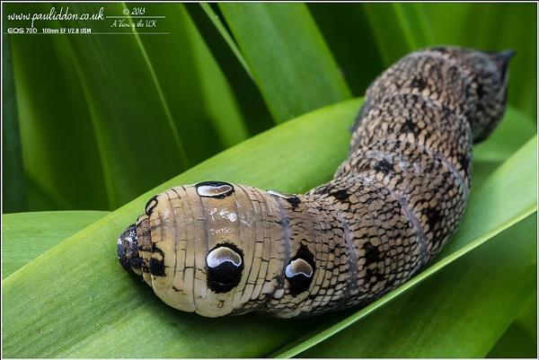 Elephant Hawk Moth (the new 70D image) by Paul_Iddon