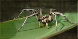 dalmatian spider