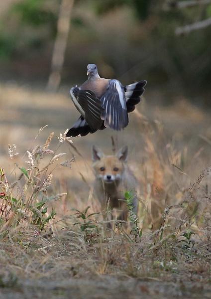 Fox Cub Stalking prey