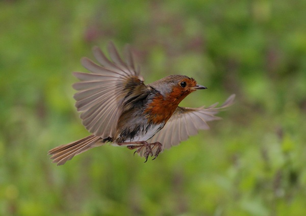 Robin in Flight by NeilSchofield