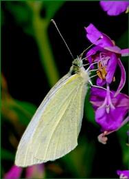 Small White-Artogeia rapae 02.