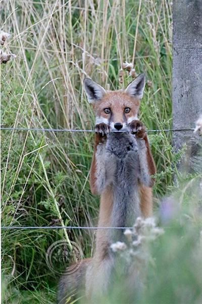 Fox Cub. by jocneilson