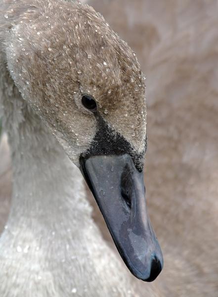 Juvenile Swans by franken