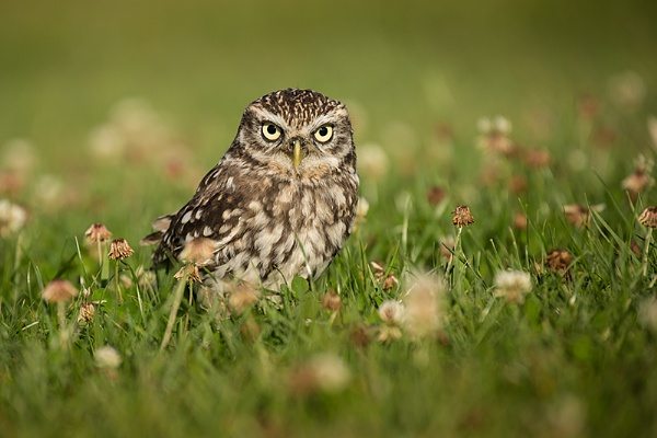 Little Owl BOC by ChrisWallace