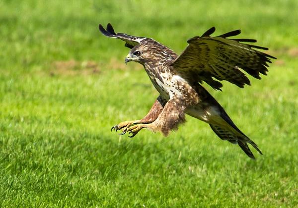 common buzzard by Tom-Melton