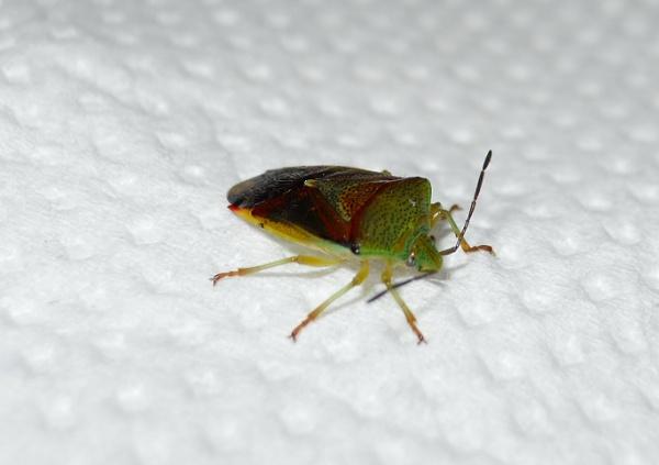 Hawthorn Shieldbug by leginR