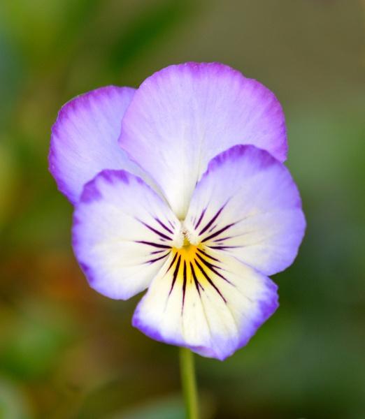 A Viola by probie
