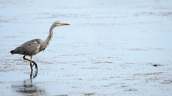 Grey Heron by richmowil