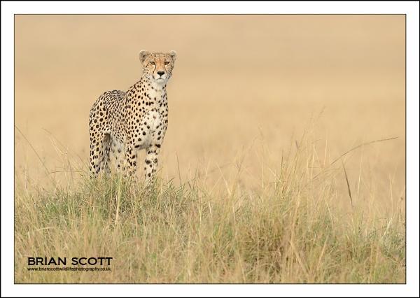 Mara Cheetah by Brian_Scott