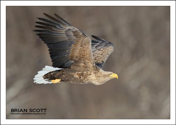 Sea Eagle by Brian_Scott
