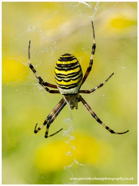 Wasp Spider by skidzy