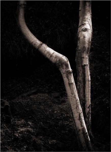 Birch Trunks by silverbells