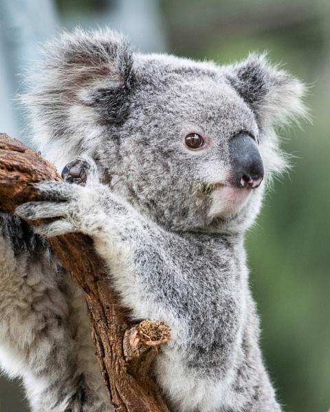 Koala by Philo
