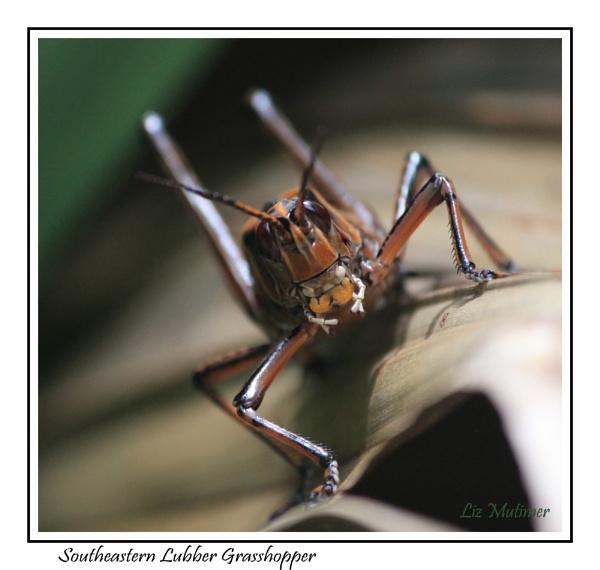 Southeastern Lubber Grasshopper by LizMutimer
