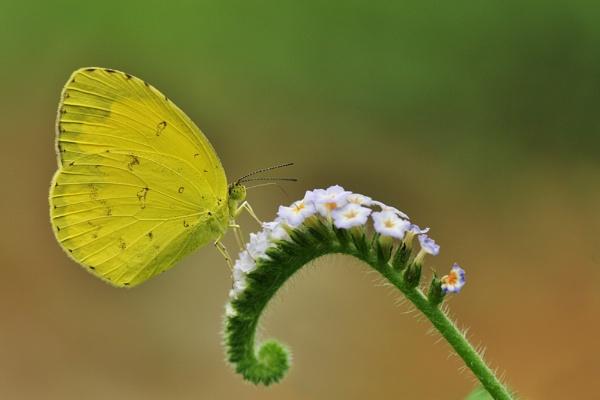 Grass Yellow by arindomb