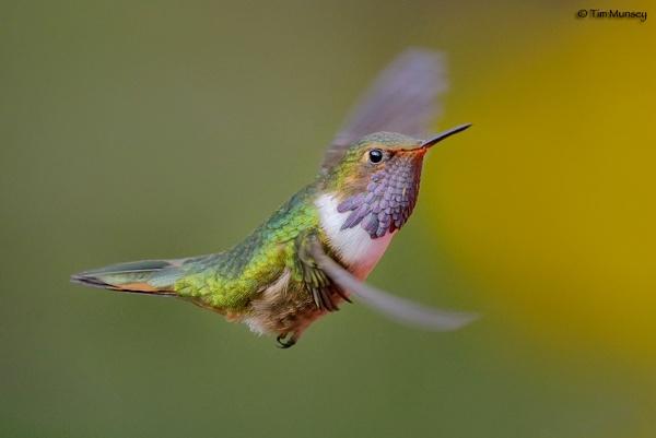 Volcano Hummingbird by TimMunsey