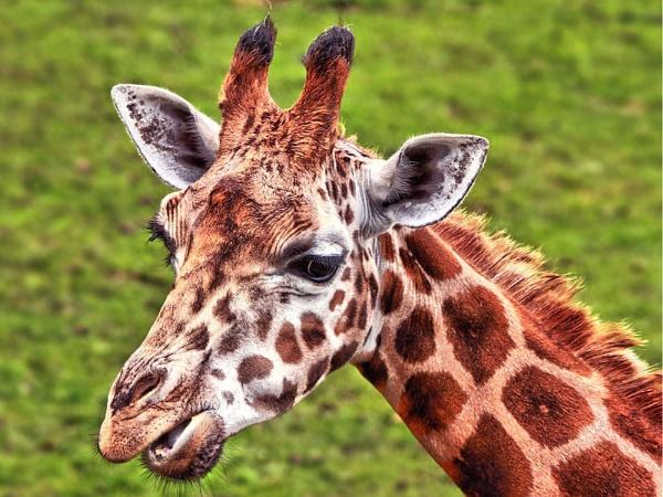 Giraffe by Simon_Marlow