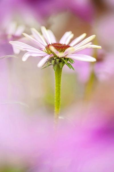 Echinacea purpurea by jackyp