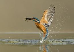 Emerging Kingfisher!