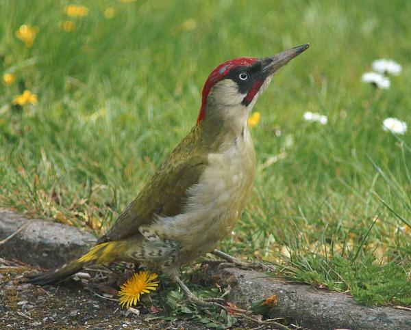 Green Woodpecker by Steppenwolf
