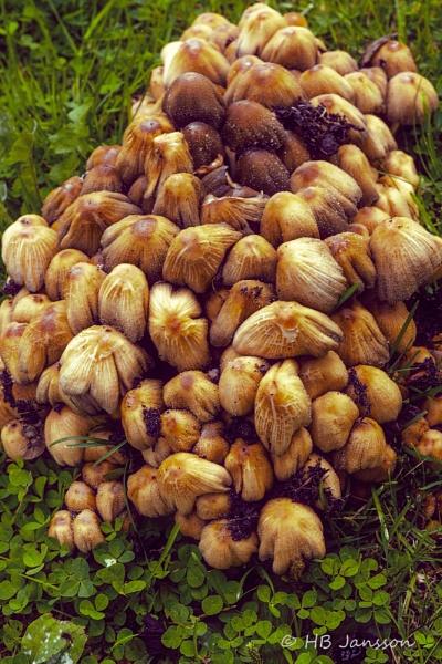 Mushrooms by HBJ