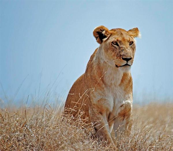 Serengeti Lioness by Jaliya