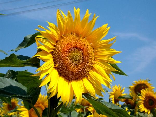 1964-beauty sunflowers by binder1