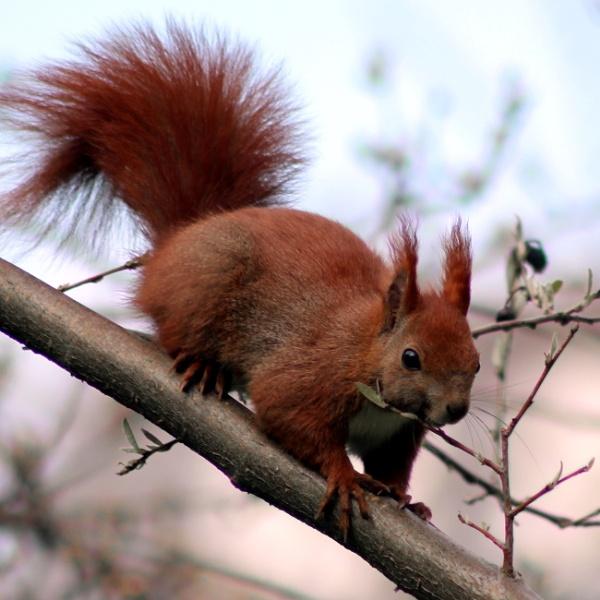 red squirrel by grlloyd
