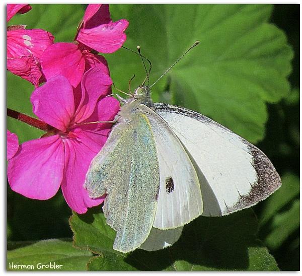Cabbage White by Hermanus