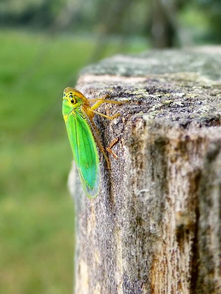 An ordinary cicada by ValeryAst
