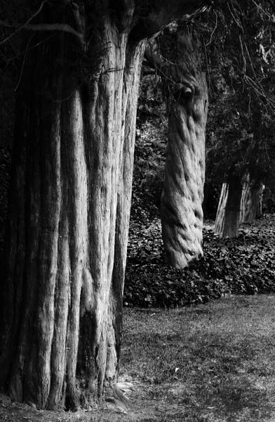 Four Yew