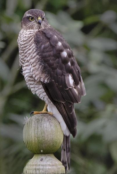 Garden Sparrowhawk