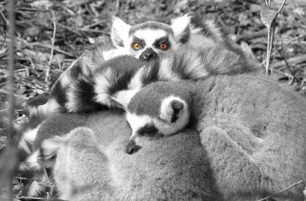 Lemurs eyes by CharlieBoddy