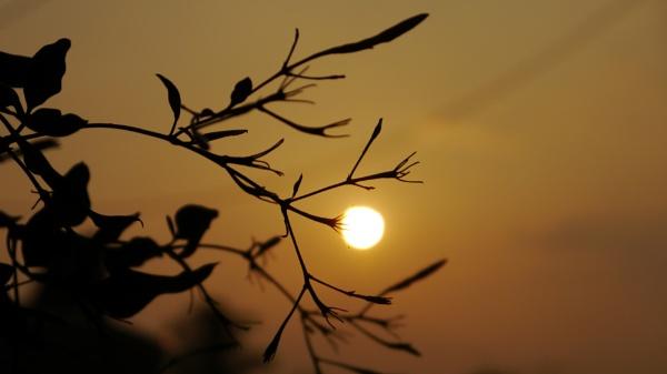 Sun Flower by sathyababu