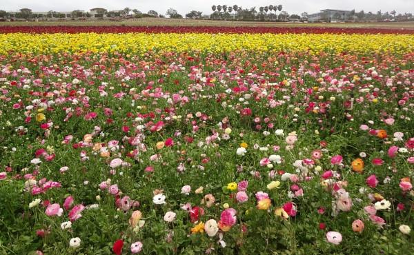 FLOWER FIELD (1) by rariyanto99
