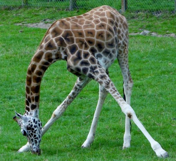 giraffe by hannah0803