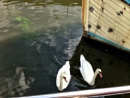 Deptford Creek Swans