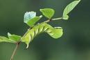 Pritet Hawk-moth Larvae