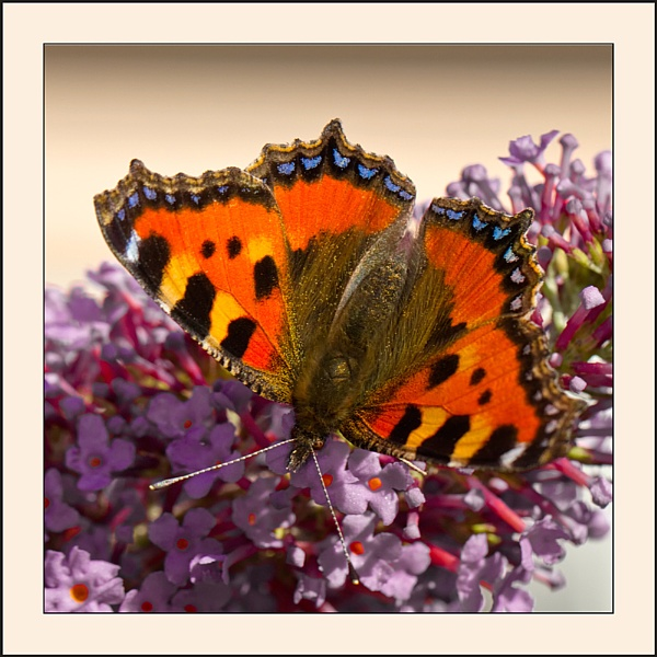 tortoiseshell butterfly by bumbleb3