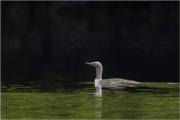 Rain goose by Hazelmouse