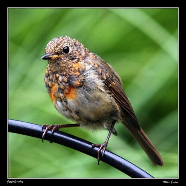 Juvenile robin by oldgreyheron
