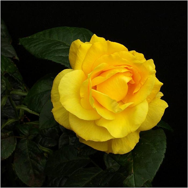 Rose Golden Wedding by Billyray